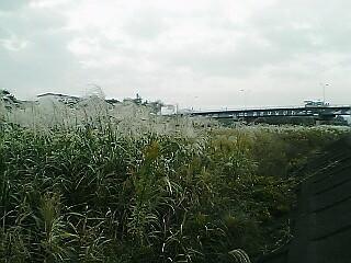 朝比奈川のススキ