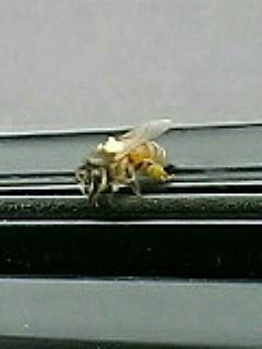 ミツバチ君