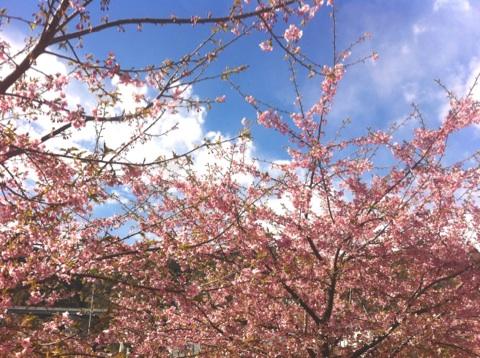足久保の河津桜